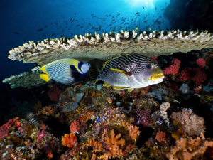 Emperor Angel and Sweetlips under table coral. Komodo, In... by Stephen Holinski 